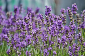 lavender-456009_1280